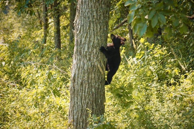 A 3-Bear Sighting at Ivy Creek Overlook in Shenandoah National Park